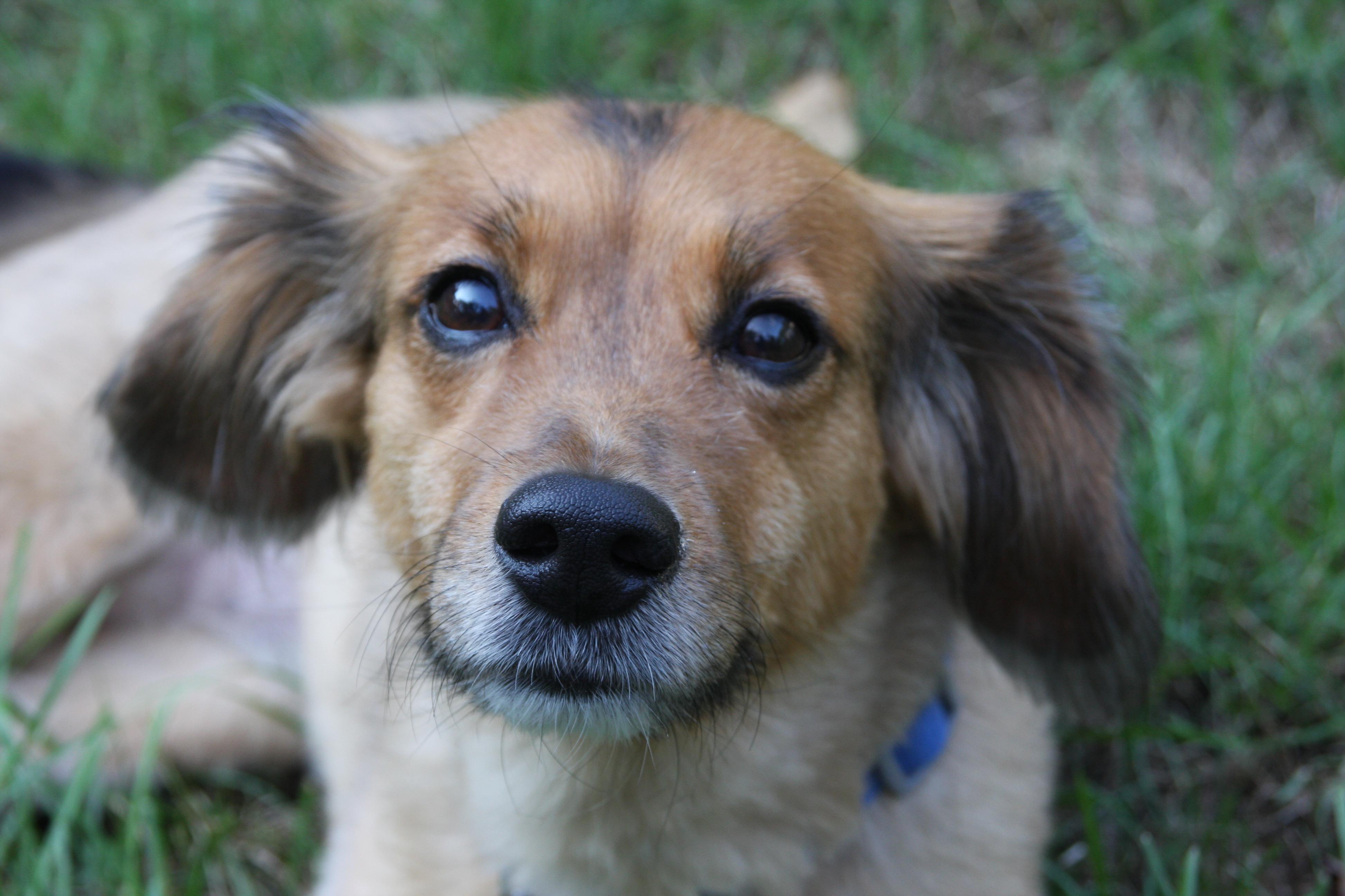beagle | Peace, Love & Fostering
