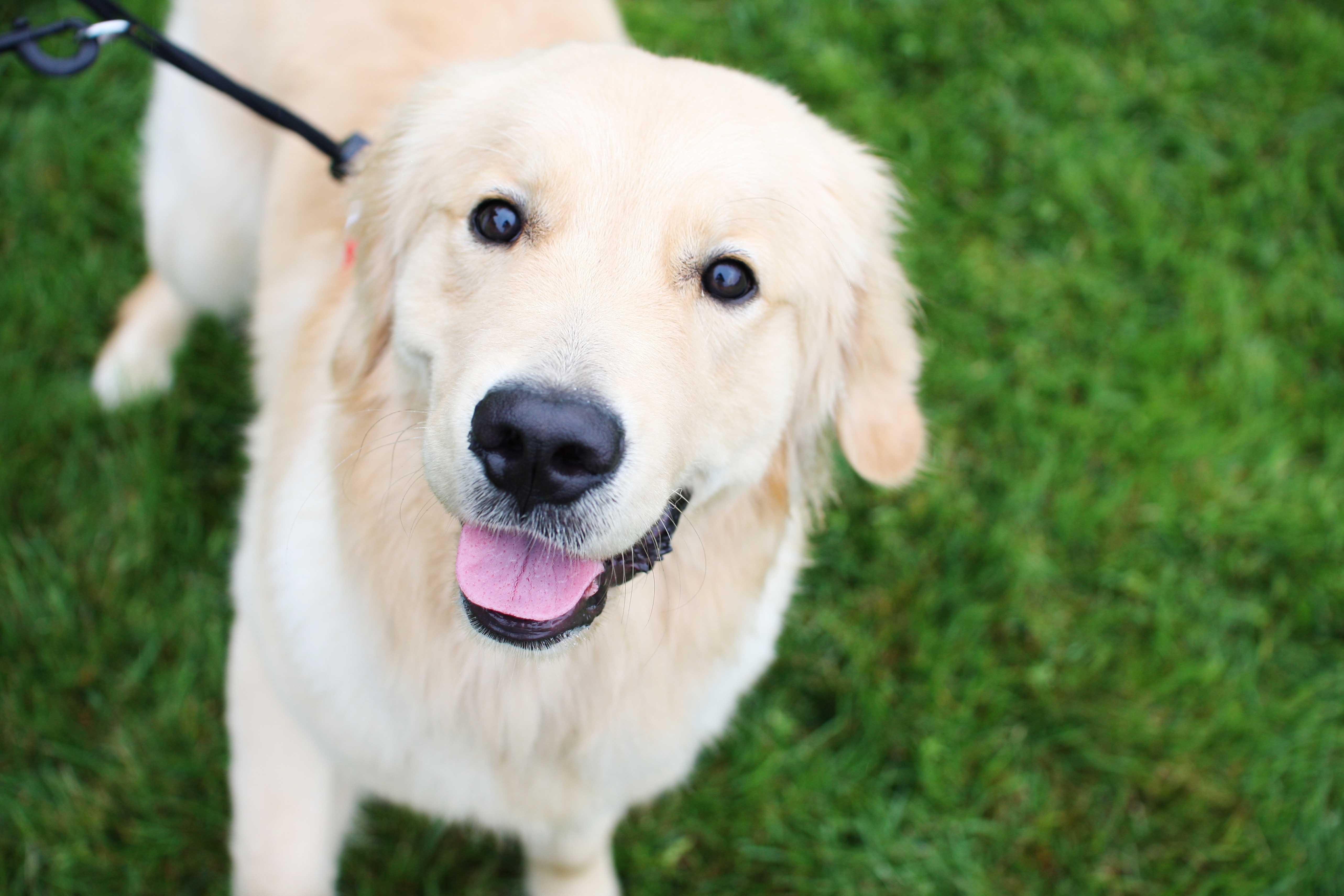 Maine Golden Retriever Rescue Dogs