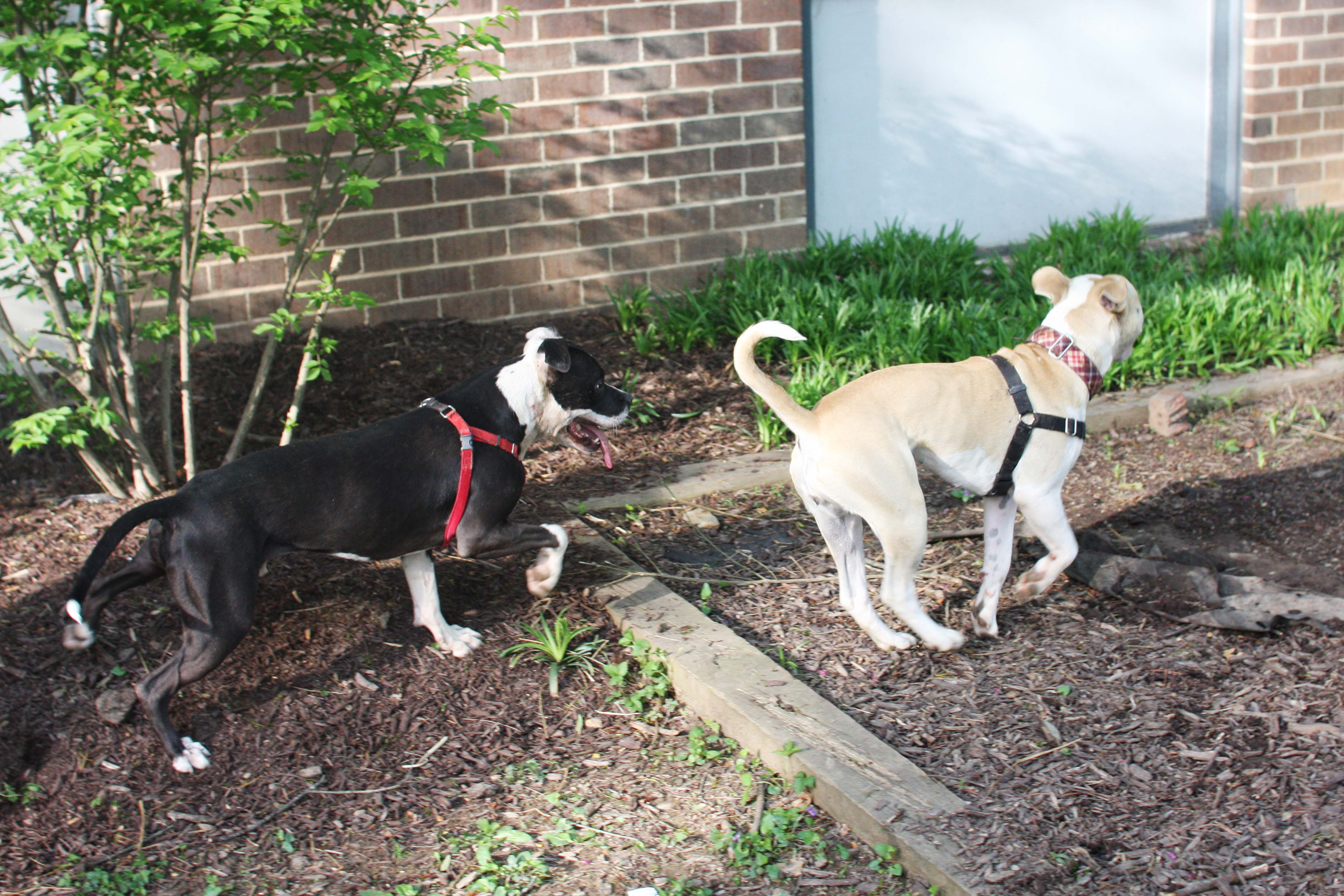 dogs playing peace love u0026 fostering