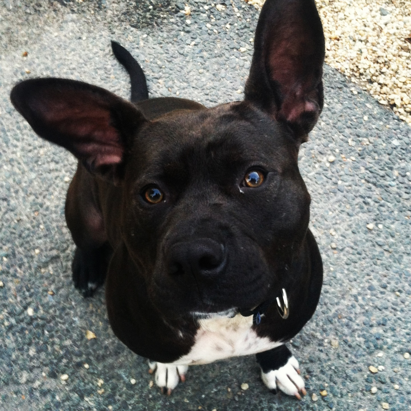 french bulldog pitbull mix french bulldog mix peace love fostering 2142